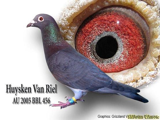 Так выглядит фото-презентация голубя: имя, персональный номер, фото и фото глаза, которое много говорит специлисту о спортивном потенциале птицы и ее генах